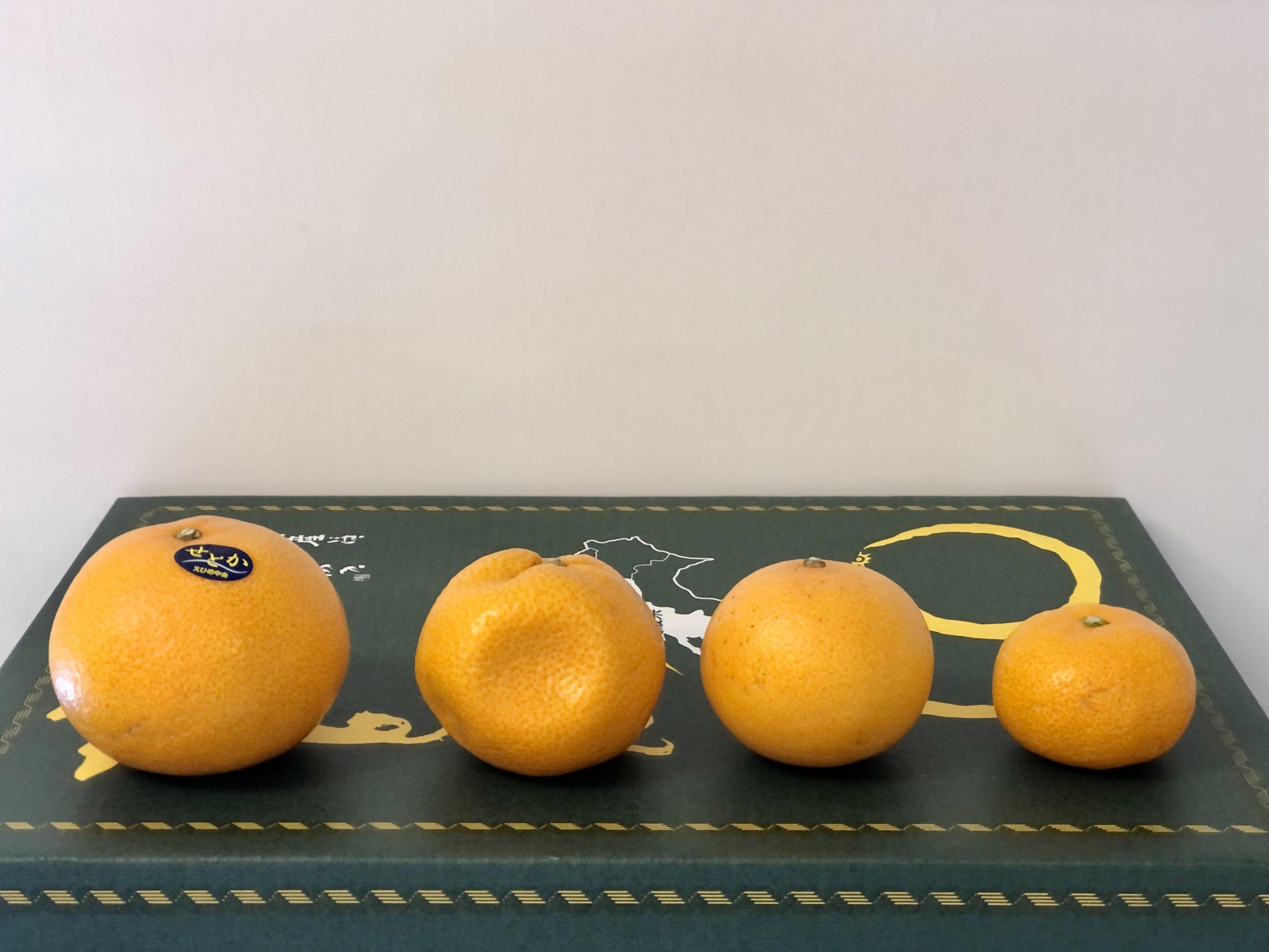 愛媛縣小太郎蜜柑 天草柑 溫州柑 瀨戶香柑橙 日本柑大小比較