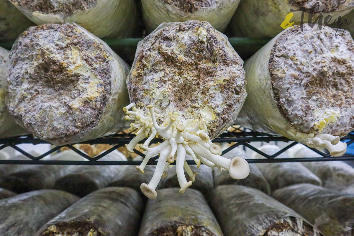 香港品牌 本土農業 本地產菇菌 香城遺菇 Russell 咖啡渣 菇菌