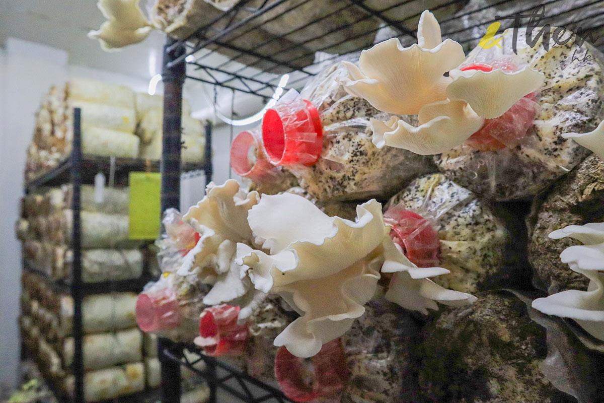 香港品牌 本土農業 本地產菇菌 香城遺菇 Russell 咖啡渣 粉紅平菇