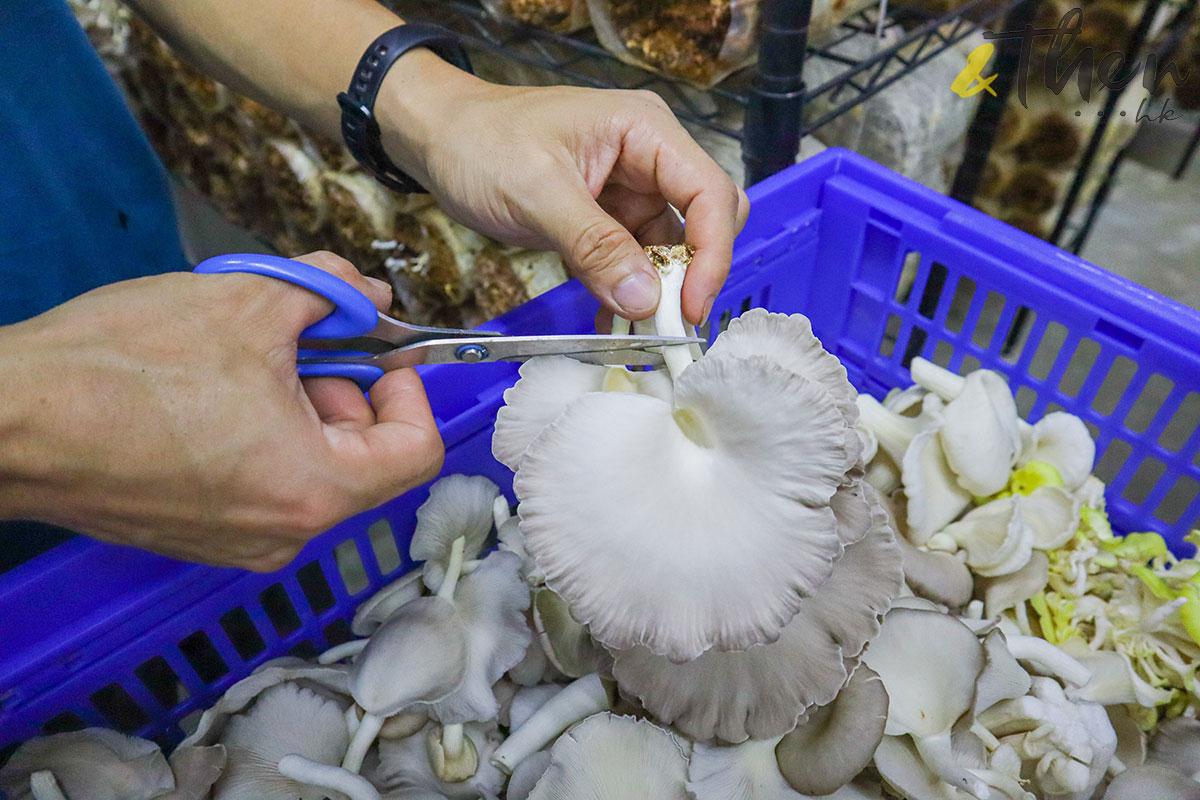 香港品牌 本土農業 本地產菇菌 香城遺菇 Russell 咖啡渣 剪刀 鮮菇